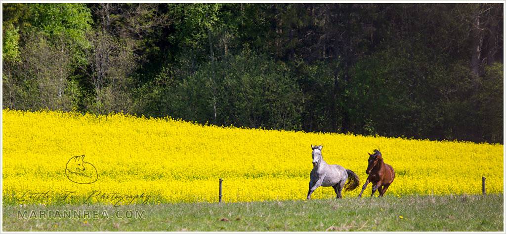 Among the yellow fields we ride