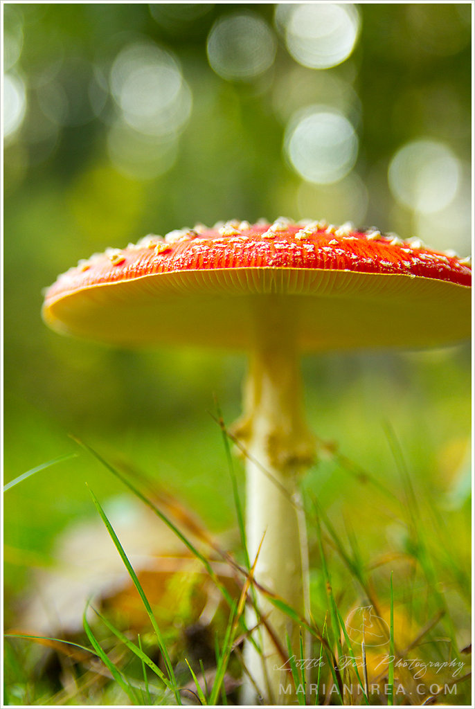 Fly agaric and bokeh