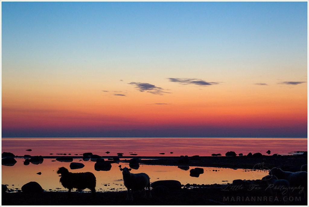 Roosa suveöö lammastega I