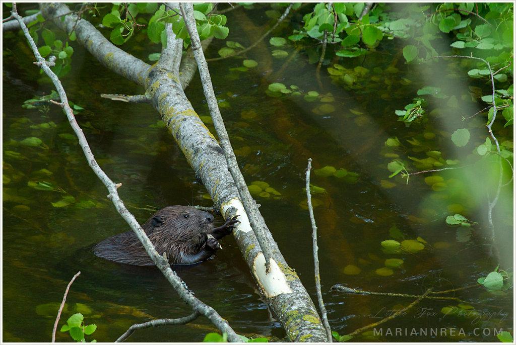 Beaver's dinner